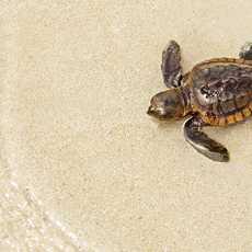 Schildkröte am Strand der Florida Keys