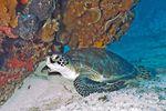 Eine Wasserschildkröte im Biscayne National Park in Florida, USA