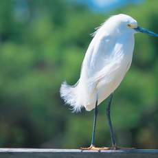 The Naples, Marco Island and the Everglades area is renowned as a top bird watching spot in the United States, with twelve sites on the Great Florida Birding Trail