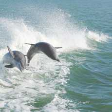 Delfine vor der Küste von Naples