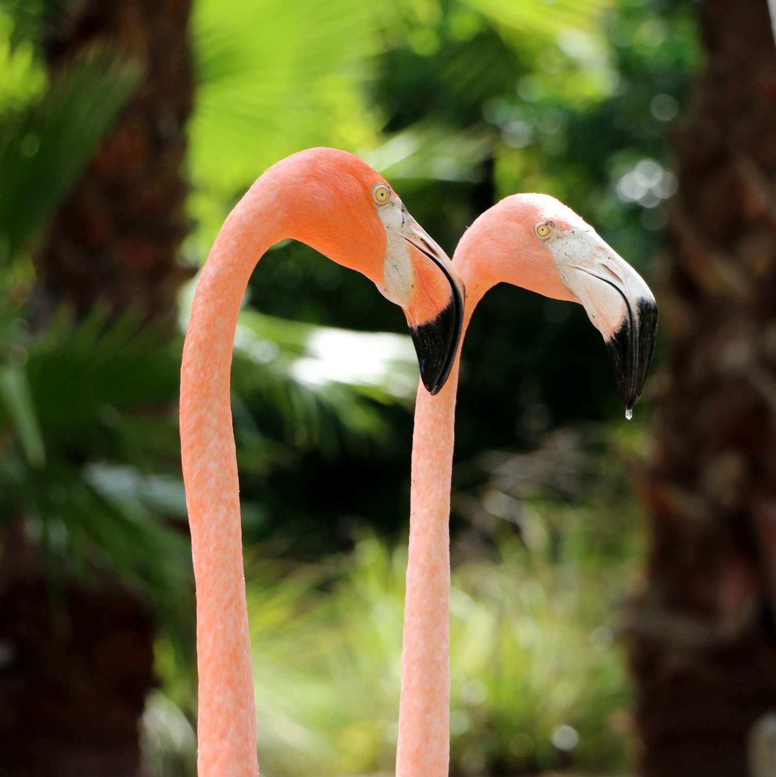 Pelikane im Sarasota Jungle Garden