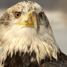 43. Bald Eagle. Once only a rare and beautiful site, these magnificent eagles can now be seen much more frequently, thanks to wildlife preservation efforts throughout Minnesota. Catch a view of a bald eagle soaring over a long, deep valley, in one of MinnesotaÕs splendid river gorges and youÕll know right away that you have just witnessed an unforgettable sight.