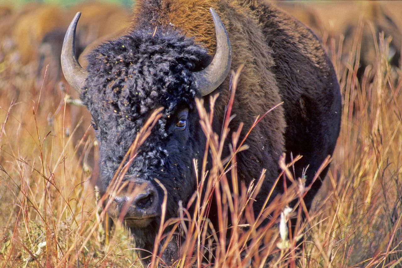 buffalo prairie chat Information on the bison herd at sandhill wildlife area  or buffalo, are kept in a 260  current management attempts to restore a native prairie-oak savannah.