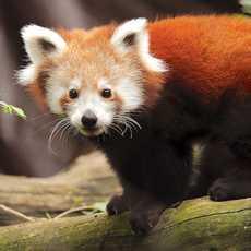 Ein Roter Panda im Zoo von Philadelphia