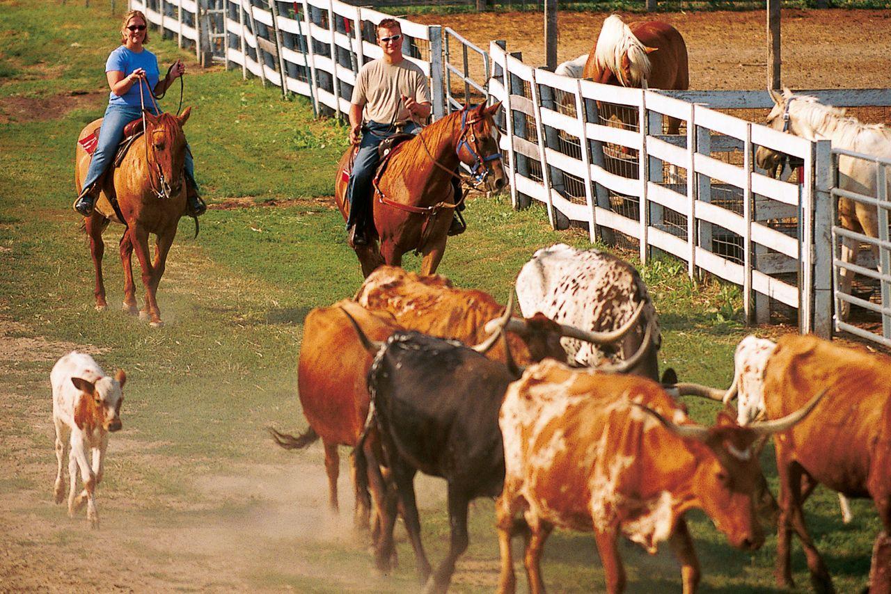 Cattle Drive in Kansas
