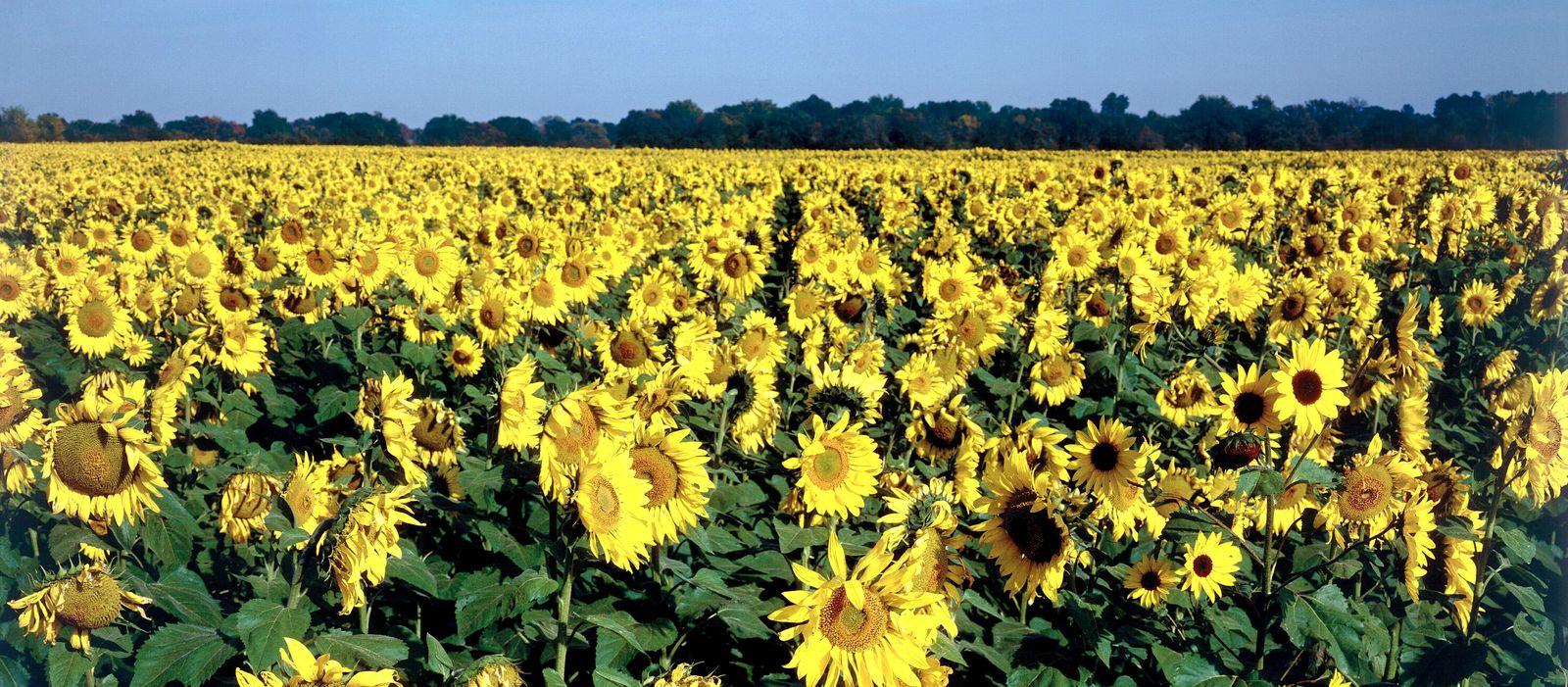 Sonnenblumenfeld in Kansas