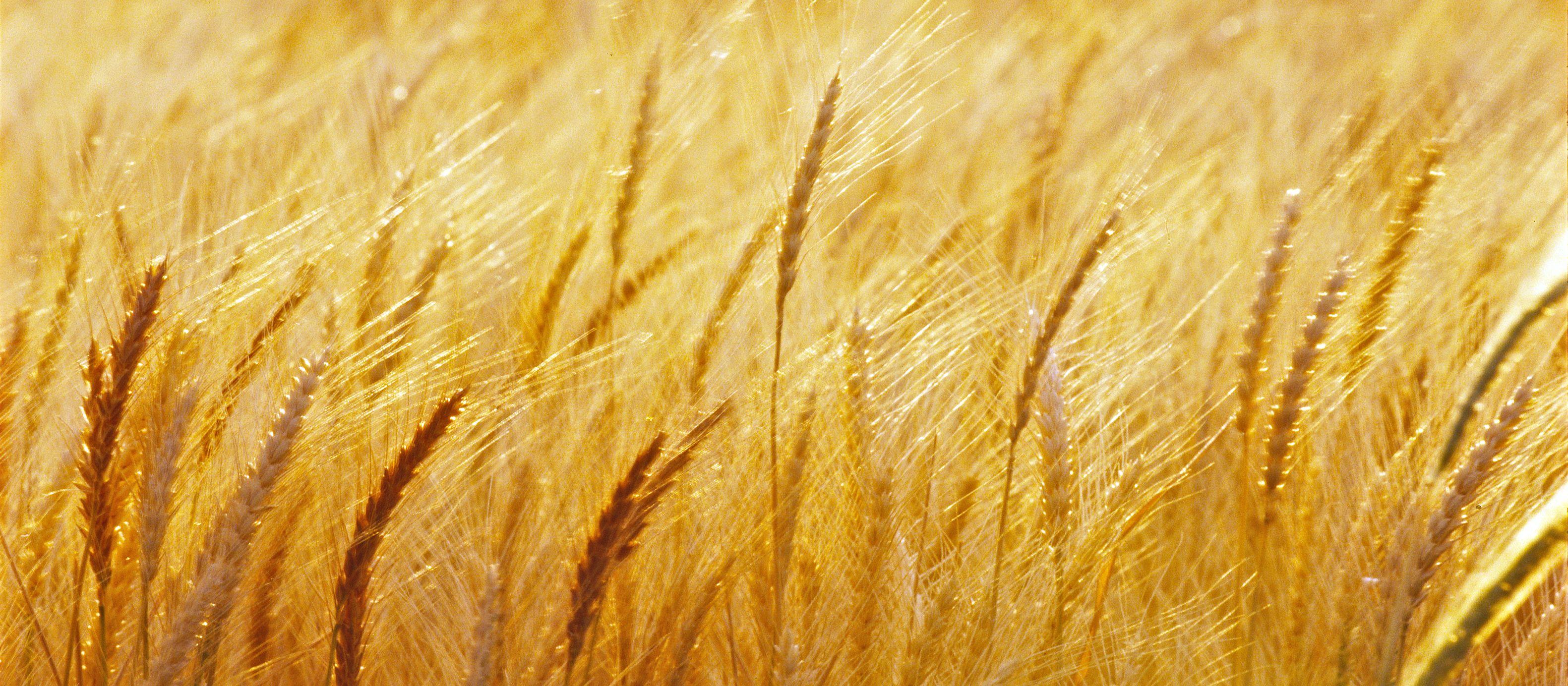 Weizenfeld im Mittleren Westen