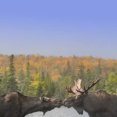 Zwei Elche stehen im Wasser, Baxter State Park, Maine