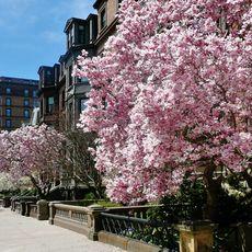 Commonwealth Avenue im Fruehling