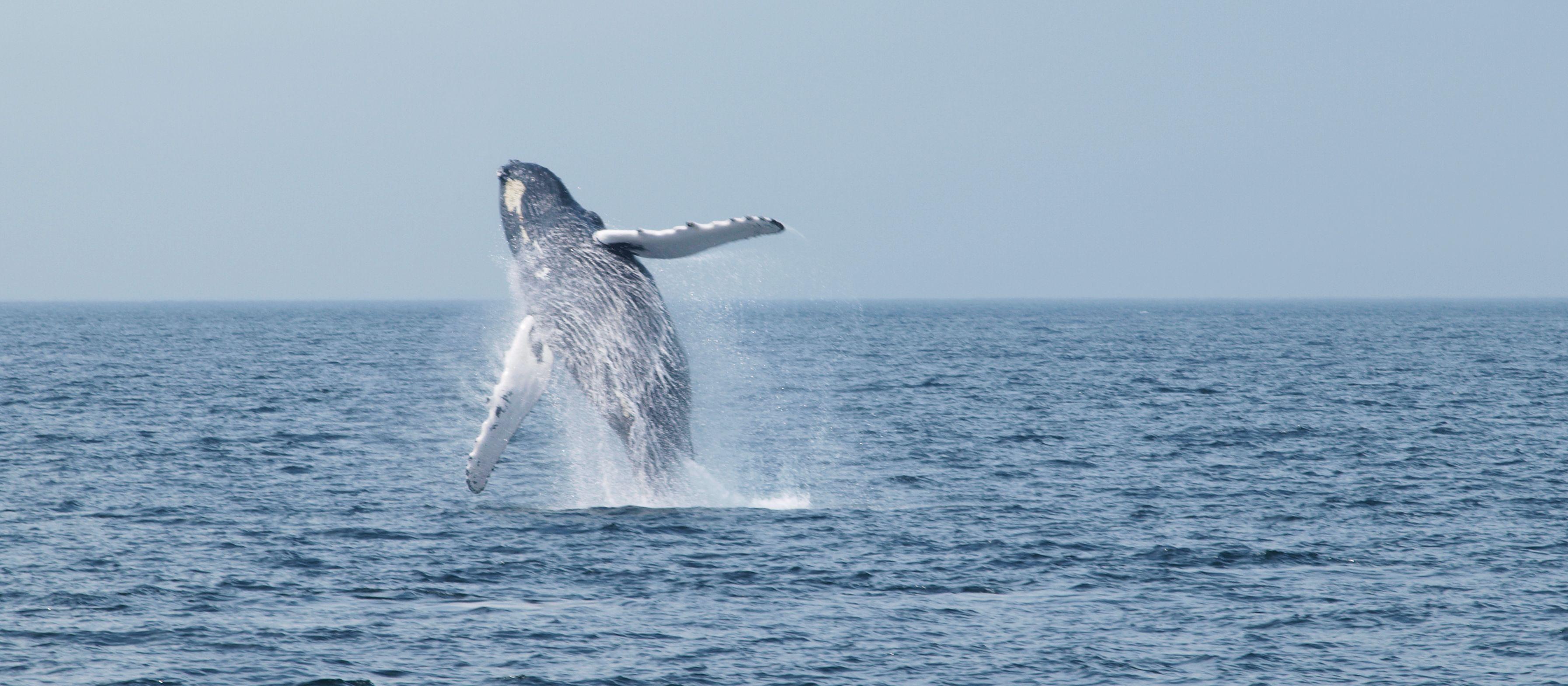 Whale Watching vor Cape Cod