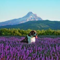 Hund im Feld vor Mount Hood in Oregon