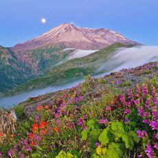 Wildblumen vor dem Mount St. Helens