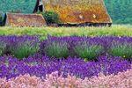 Lavendelfelder in Sequim in Washington im Nordwesten der USA