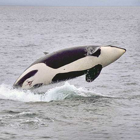 Orca vor den San Juan Islands