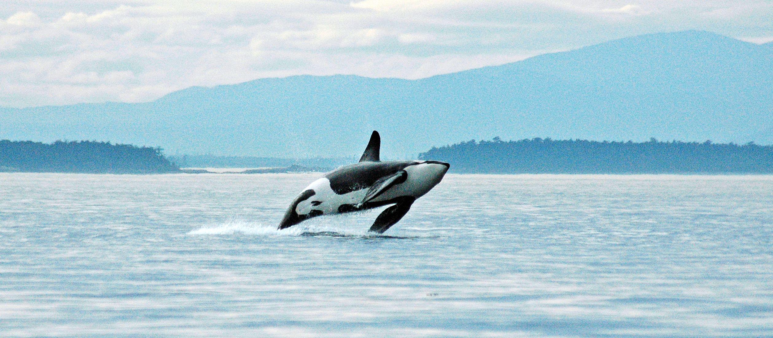 Orca zwischen den San Juan Islands