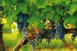 Rebstock im Wine Country