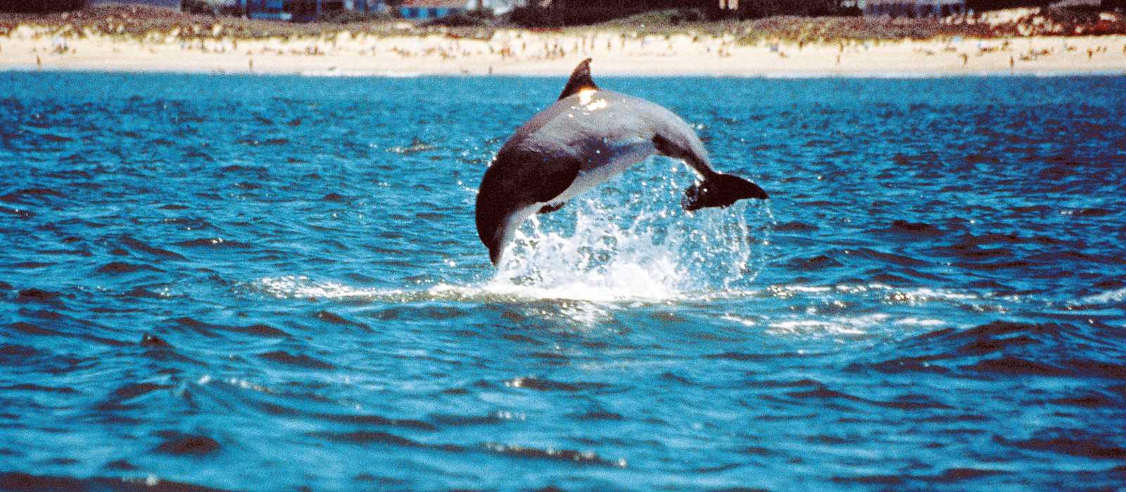 Delfine vor Virginia Beach