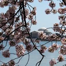 Das Jefferson Memorial hinter Kirschblüten