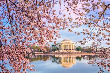 Kirschblüten blühen in Washington DC