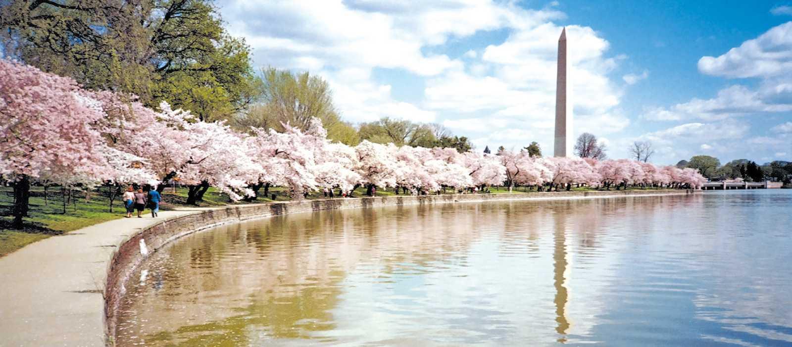 Kirschbluete am Washington Monument