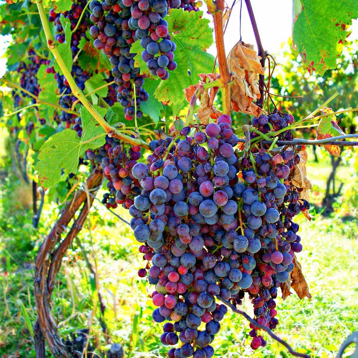 Eine Weinrebe im Finger Lakes Wine Country