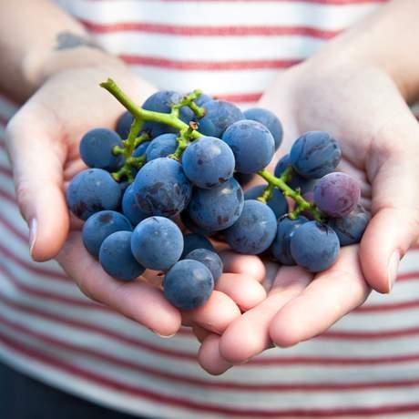 Weintrauben der Becker Farms in Gasport, New York