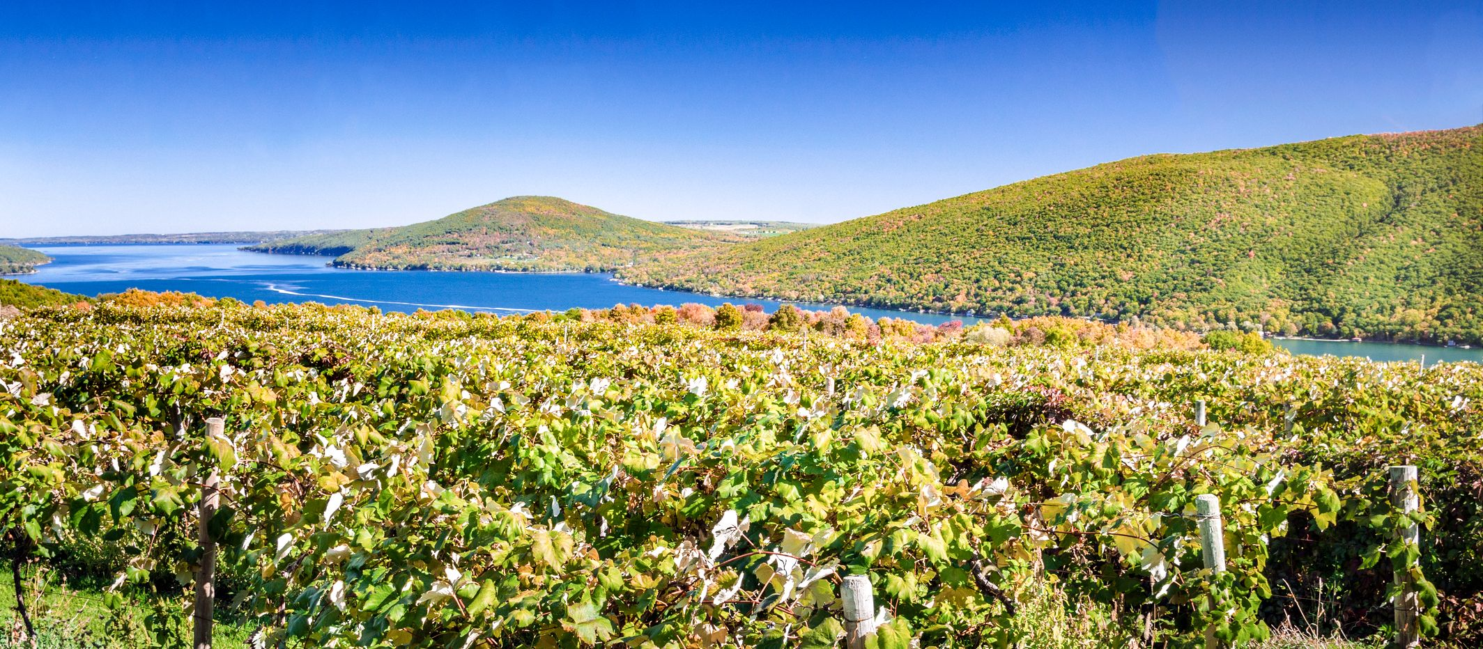 Vineyard with a Lake in Background on a Clear Early Autumn Day. Fingers Lakes, Upstate New York.