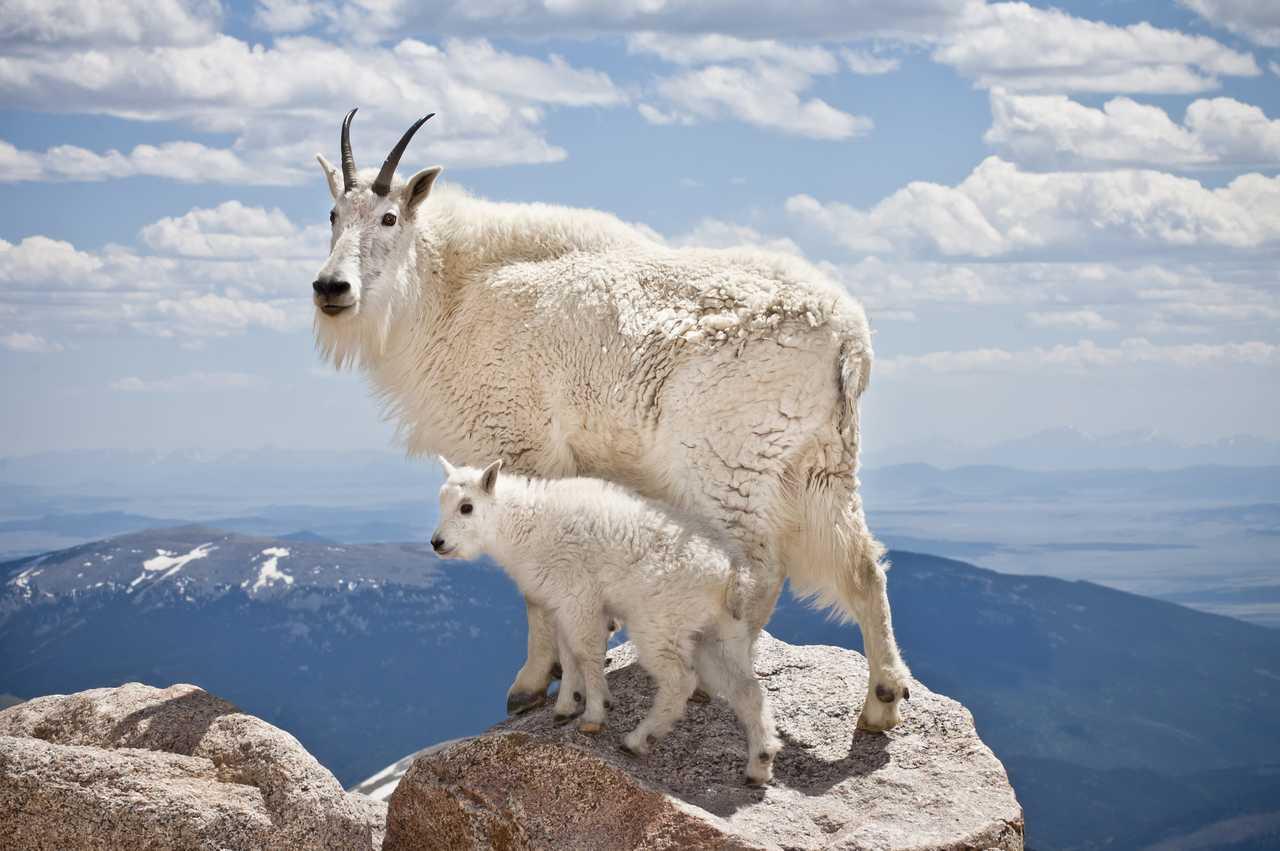 Bergziege mit Jungtier auf einem Gipfel in den Rocky Mountains