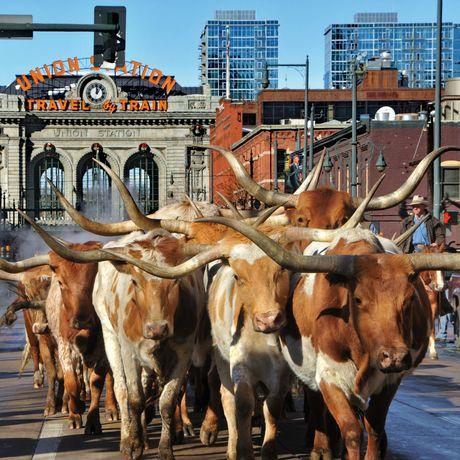 Texas Longhorn Cattle auf der National Western Stock Show Parade in Denver, Colorado