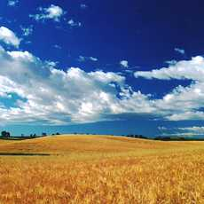 Golden fields of wheat under a summer sky in eastern Idaho.