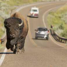 Ein Bison auf einem Highway im Theodore Roosevelt Nationalpark, North Dakota