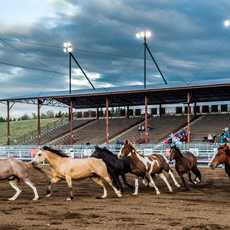 Cody Nite Rodeo Horses
