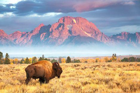 Ein Bison in traumhafter Umgebung vor dem Mount Moran in Wyoming
