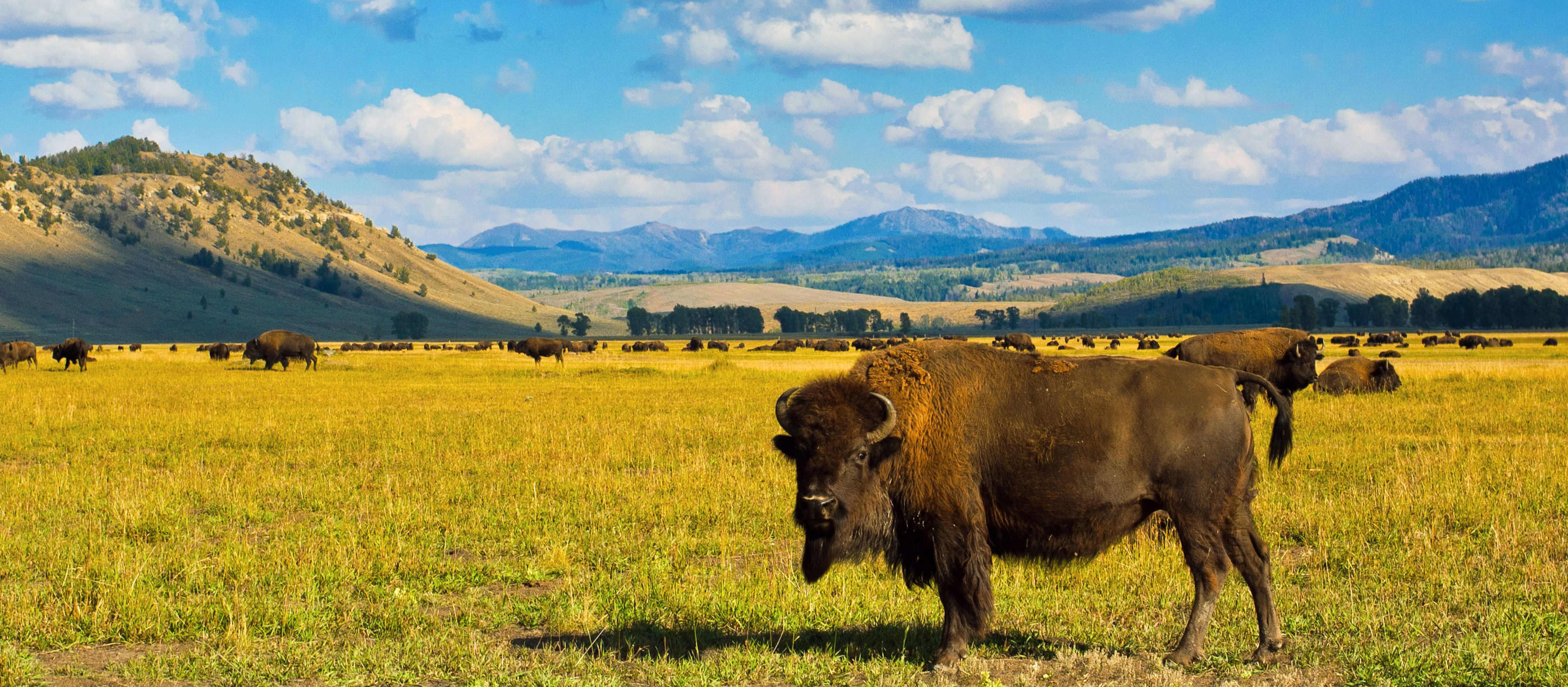 Bison im Yellowstone National Park