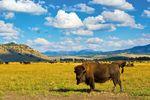 Eine große Bisonherde auf einer grünen Wiese des Yellowstone National Park