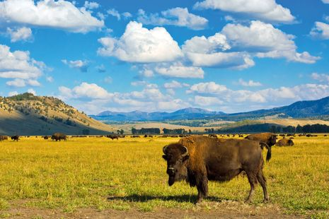 Bisons im Yellowstone National Park