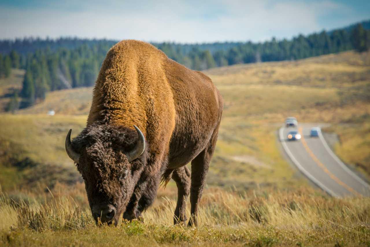 Büffel im Yellowstone Park