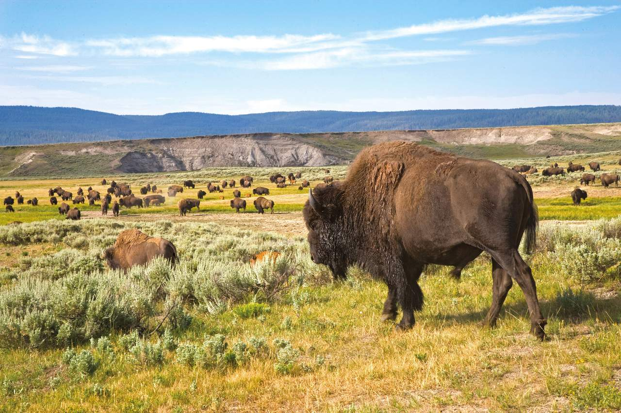 Büffel im Yellowstone National Park