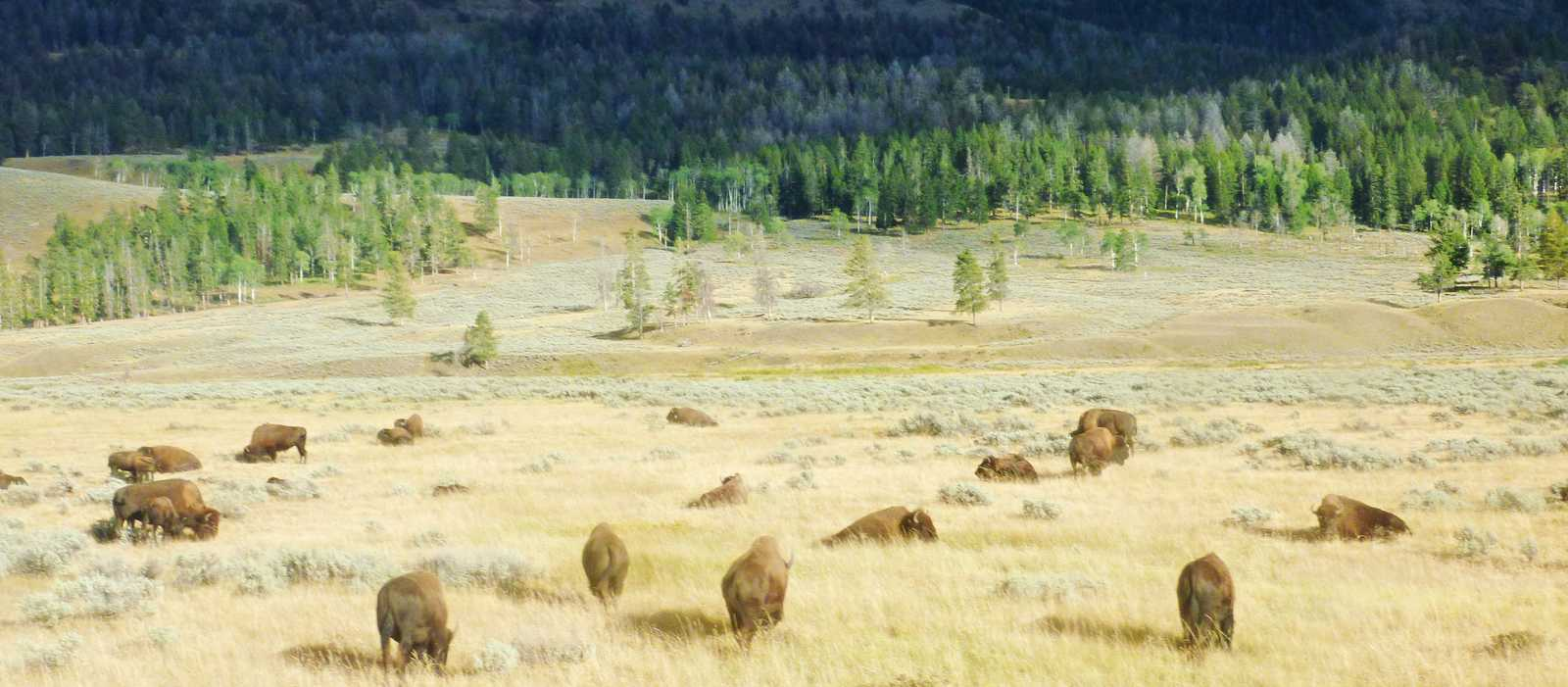 Bisonherde im Lamar Valley