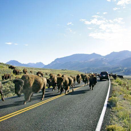 Begegnung im Yellowstone National Park
