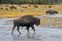 Yellowstone und Grand Teton