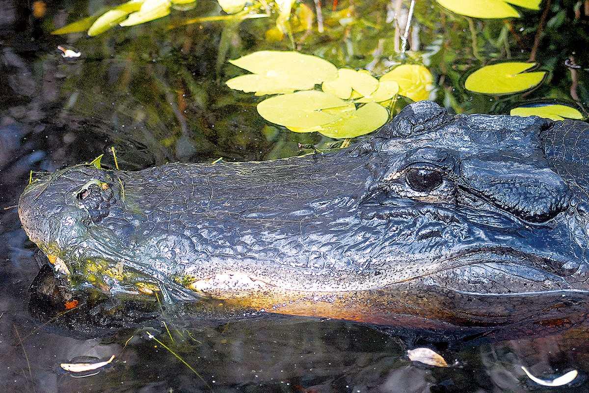 Alligator in den Okefenokee-Suempfen