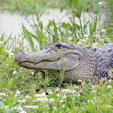Daisy Gator Creole Nature Trail