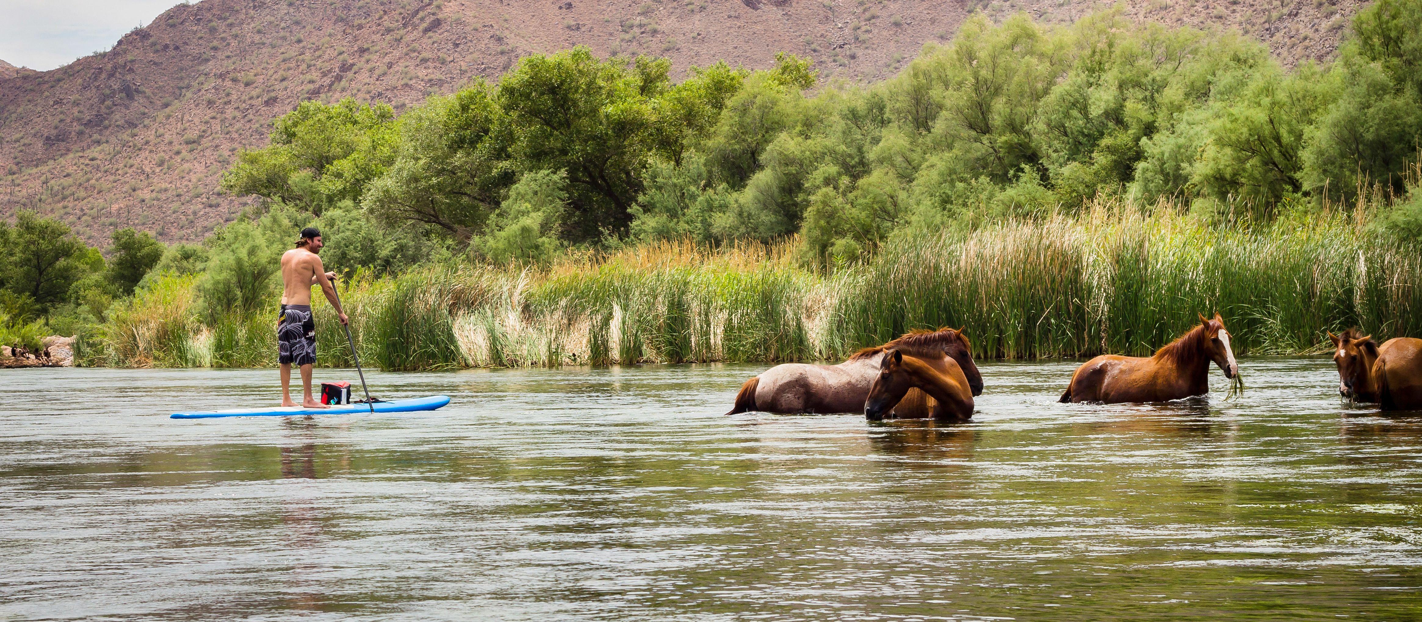 Stand Up Paddeln neben Wildpferden im Salt River in Arizona