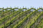 Weinreben im Livermore Valley