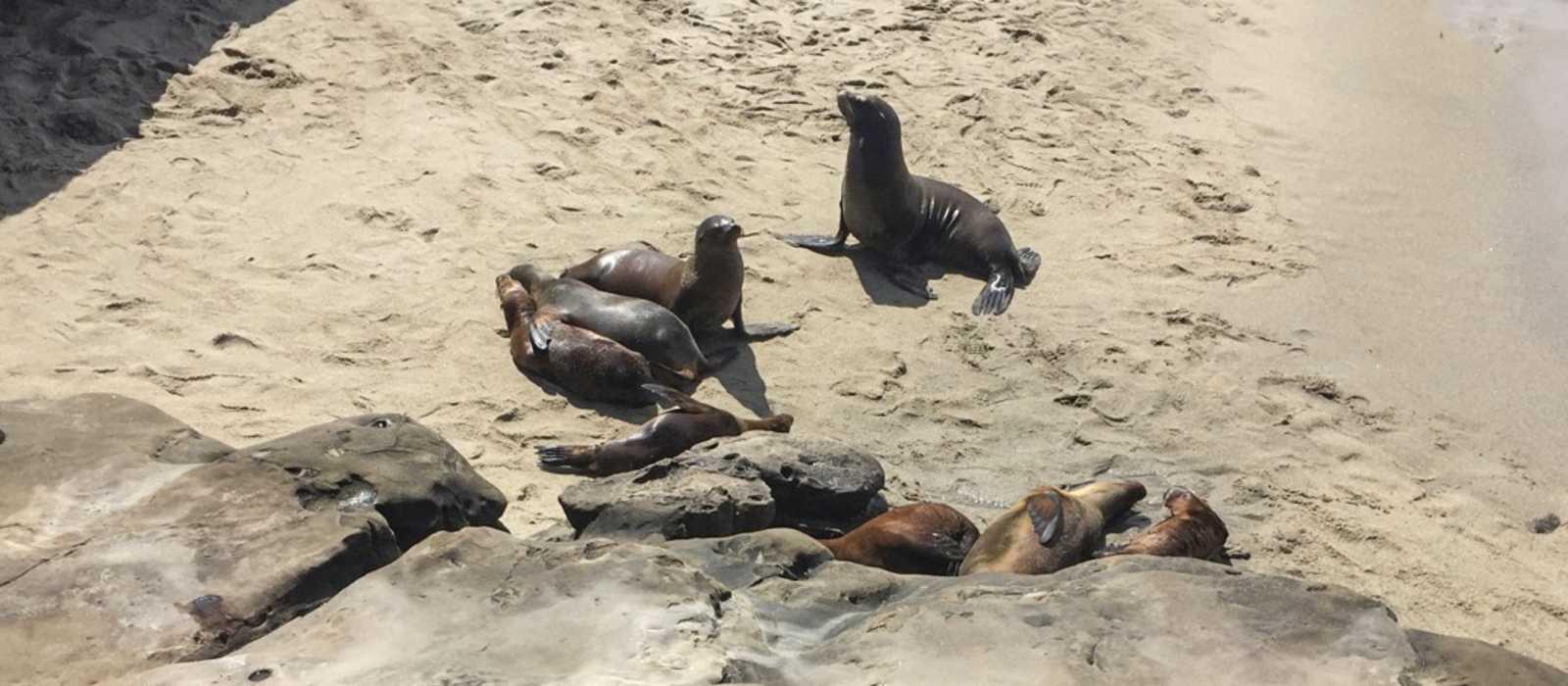Seelöwen sonnen sich am La Jolla Cove