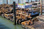Seelöwen am Pier 39 von San Francisco