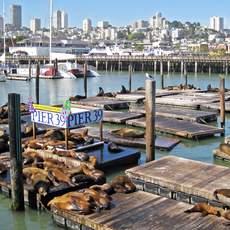 Seeloewen an der Pier 39