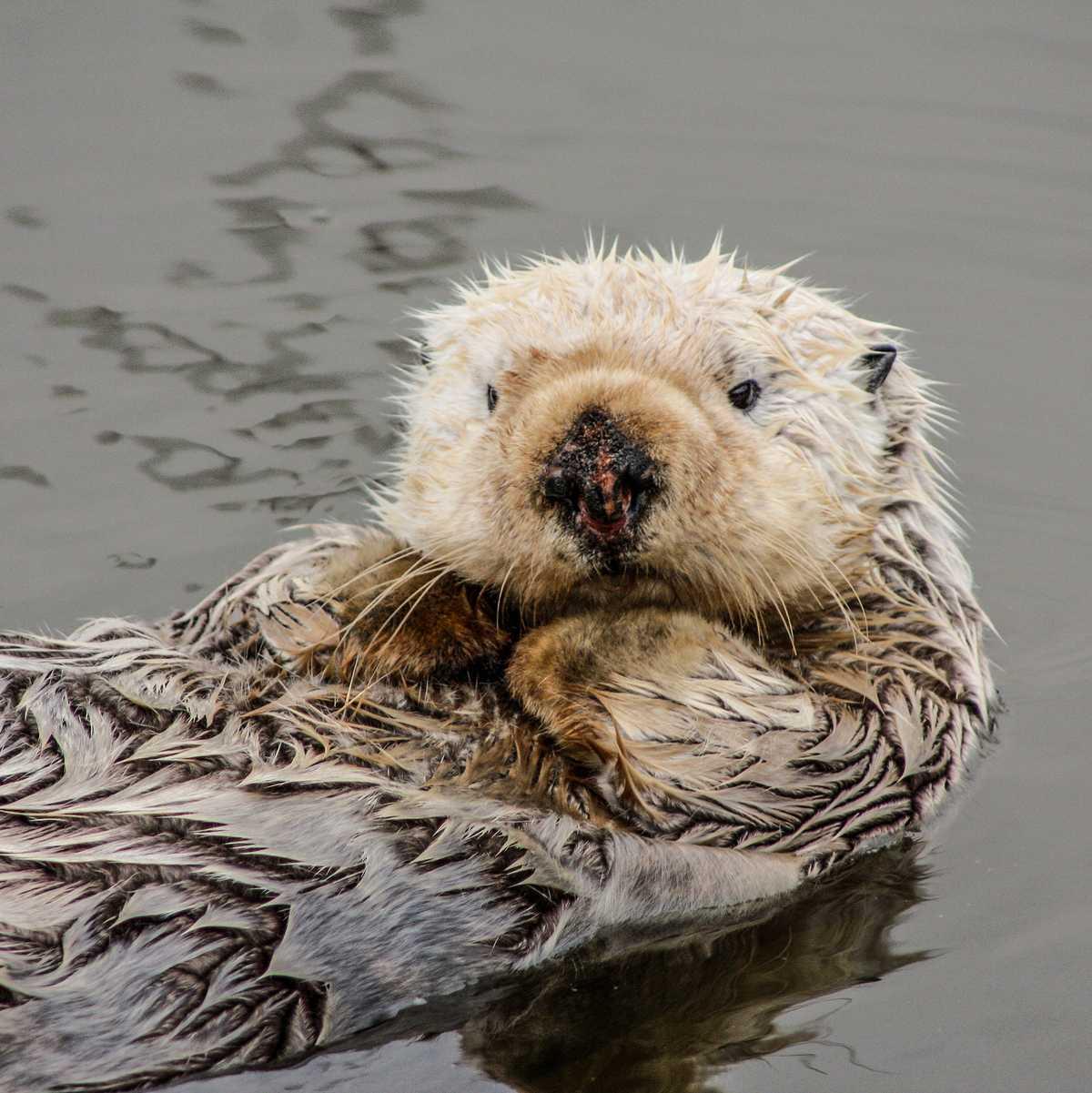 Die Santa Cruz Wharf ist der perfekte Ort um Seeotter in ihrem natürlichen Lebensraum zu beobachten