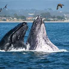 Buckelwale an der Küste von Santa Cruz